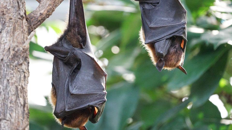 Los virus del SARS y el COVID-19 están asociados a murciélagos.