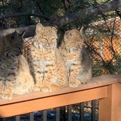 En Boulder, Colorado, los leones de montaña rondaron las calles residenciales y hasta se acercaron a las casas.