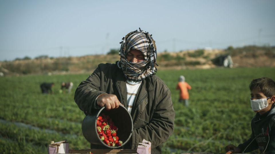 Un palestino y su hijo en un campo de frutillas en el norte de la Franja.