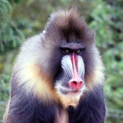 Los mandriles son fáciles de reconocer debido a su pelaje pardo y los colores azules y rojos que recorren su cara.