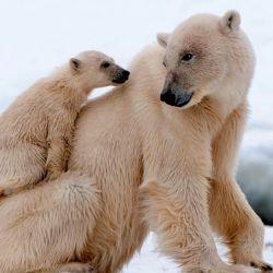 El calentamiento global es el principal responsable de que esta especie esté en peligro.