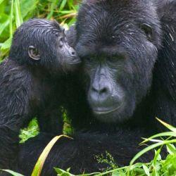 El 25 % de los mamíferos están en peligro de extinción.