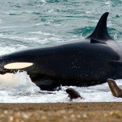 Desde mediados de febrero y hasta fines de abril, unos 30 ejemplares de orcas se acercan a este rincón de la Patagonia argentina para cazar y alimentarse de crías de lobos marinos.