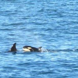 Los guardafaunas Paula Ciraolo y Jorge Martín capturaron imágenes de esta nueva bebé de orca el 13 de abril, ya que son los únicos que están autorizados a permanecer en la zona.