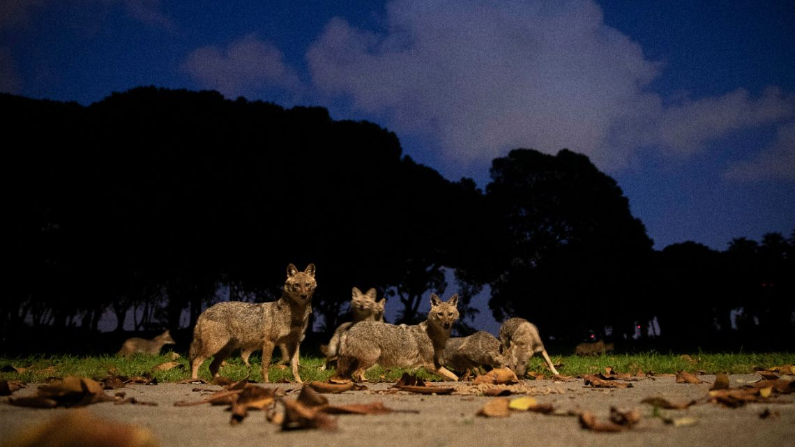 In this Saturday, April 11, 2020 file photo, a pack of jackals eats dog food that was left for them by a woman at Hayarkon Park in Tel Aviv, Israel.
