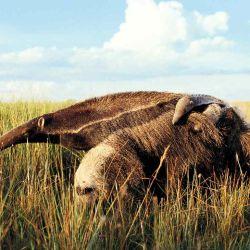 La revista National Geographic presenta al mundo la historia de Iberá junto a los demás proyectos de Rewilding Argentina y Tompkins Conservation.