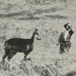 El huemul es uno de los dos ciervos nativos de nuestra Patagonia.