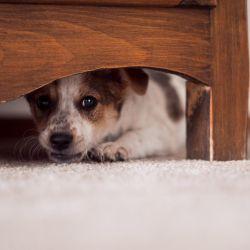 En este entorno de aislamiento forzado las mascotas, al igual que sus dueños, pueden sufrir de ansiedad en el encierro, por lo que es muy importante generar nuevos hábitos que contribuyan con su estado emocional y alimentación.