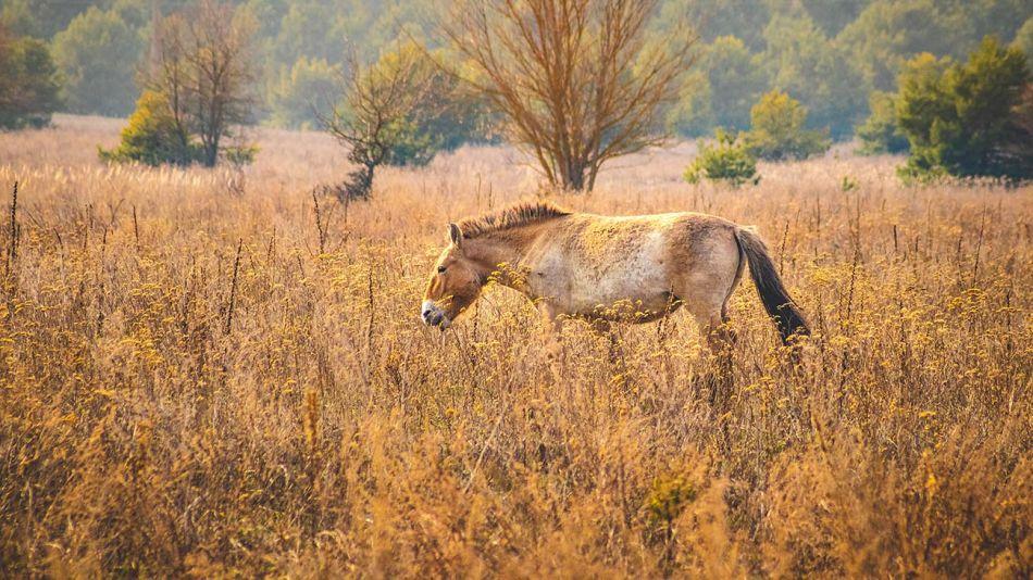 Chernobyl caballos