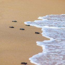 Una ONG especializada en su protección se encarga de contabilizar la especie y de conservar la vida en estas playas brasileñas.