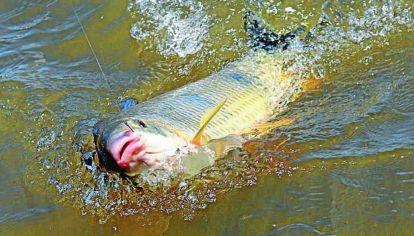 Pesca furtiva de bogas en el río Gualeguay