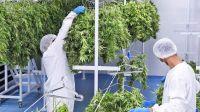 marihuana cannabis 30042020
