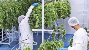 El boom de la producción de cannabis