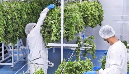 Cultivo de marihuana medicinal.