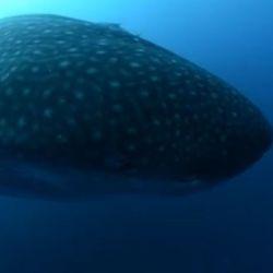 Los tiburones de Galápagos forman parte de un documental que está disponible en Amazon Prime Video.