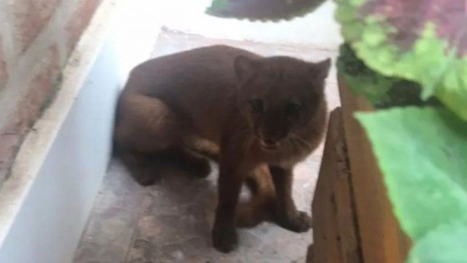 El animal es conocido como Puma Yaguarundí