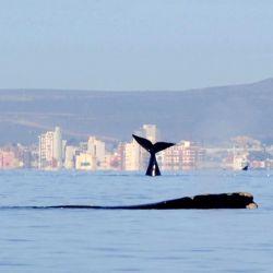 La ballena franca austral llega en junio a la costa de Madryn para reproducirse y enseñar a nadar a sus crías.