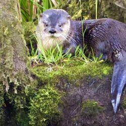 Los huillines son semiacuáticos y ubican sus madrigueras en orificios naturales entre rocas, troncos y arbustos en las riberas de los ríos y lagos.