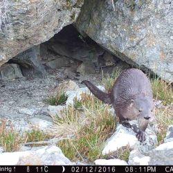 Se trata de un carnívoro semiacuático que se especializa en cazar presas acuáticas de movimiento lento.