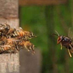 Cómo es las avispa asiática que invade Washington