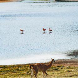 Naturaleza pura: los guanacos comparten el hábitat con los flamencos rosados.