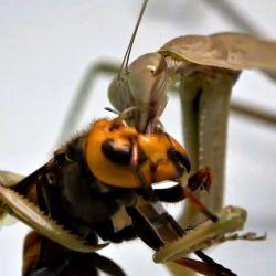 La mantis sujeta a la avispa asesina y le devora la cabeza, sin inmutarse por la resistencia que ofrece su presa.