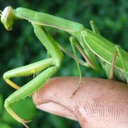 La mantis no es la primer especie que demuestra la vulnerabilidad de la avispa asesina.
