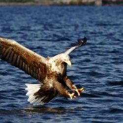 El águila de cola blanca reapareció en el Reino Unido después de 240 años.