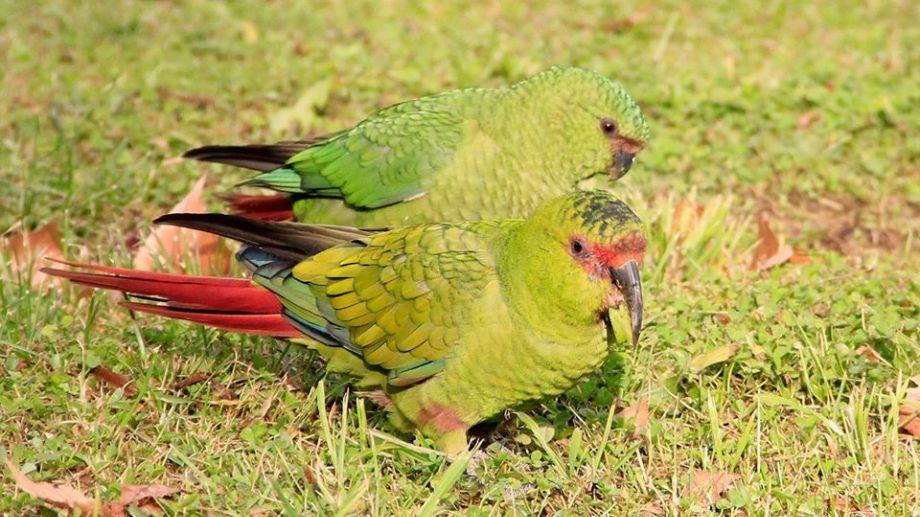 El choroy mide unos 41 cm de longitud, su plumaje es de color verde; tiene una franja roja entre los ojos, el pico es negro y alargado.