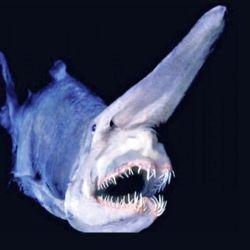 El tiburón duende puede extender su mandíbula  hasta un 9,4 % de la longitud total de su cuerpo.