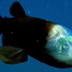 Pez cabeza transparente: como su nombre lo indica, este pez se caracteriza por tener la cabeza transparente.