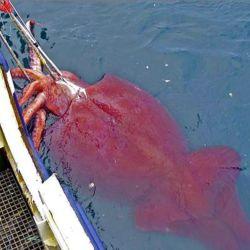 Calamar colosal: es el invertebrado más grande del mundo, aunque no se sabe mucho sobre él.
