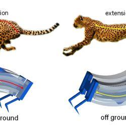 Su columna vertebral se contrae y se expande sucesivamente al correr.