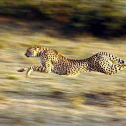 El guepardo o chita capaz de alcanzar velocidades superiores a los 100 km/h en distancias de hasta 500 metros.