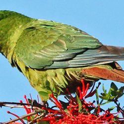 El Enicognathus leptorhynchus, ave endémica de Chile, fue visto en la zona de Aluminé, Neuquén.