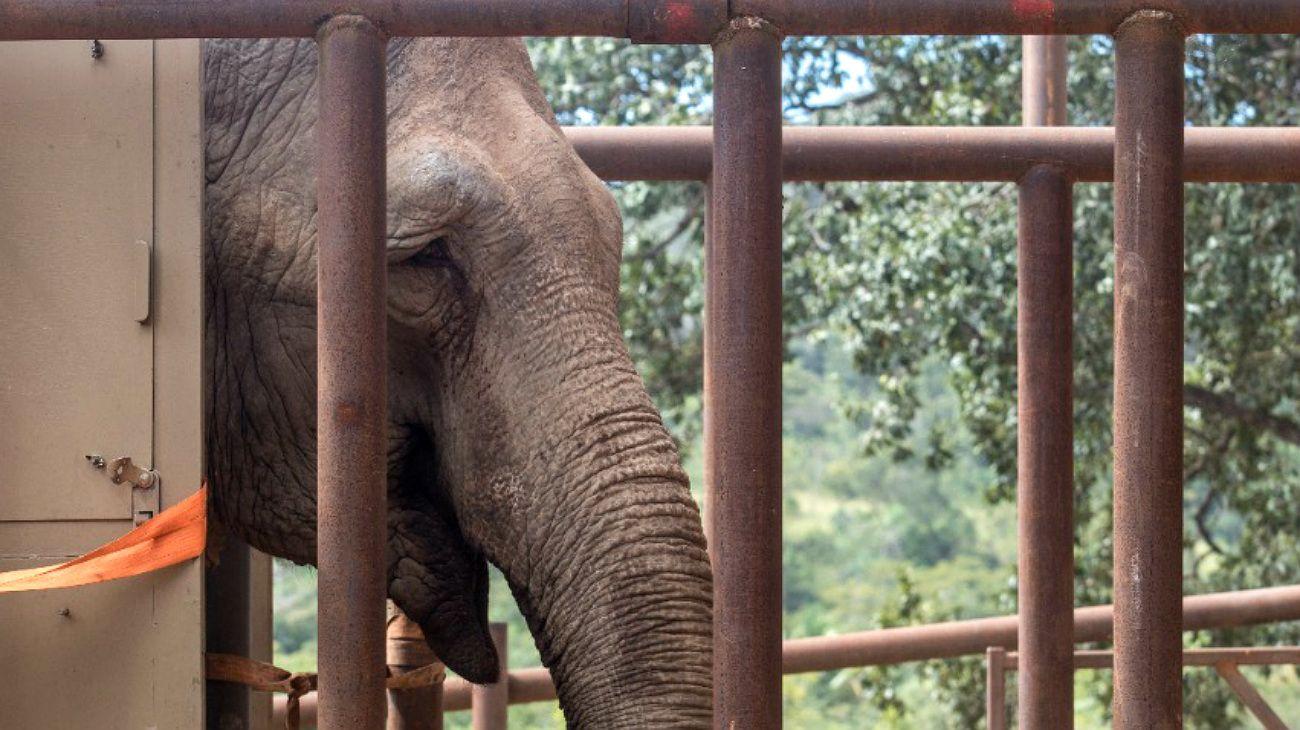 La elefanta del zoo porteño, Mara, a su llegada a Brasil.-