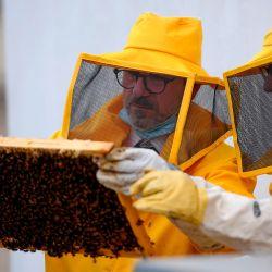 Los apicultores de las Unidades Forestales, Ambientales y Agroalimentarias de los Carabinieri (CUFAA) manejan el marco de una colmena cubierto de abejas el 14 de mayo de 2020 en la azotea de la sede del comando en Roma, durante el cierre del país destinado a frenar la propagación de la Infección por COVID-19, causada por el nuevo coronavirus. - Los apicultores italianos de la Federación Italiana de Apicultores (FAI) y Carabinieri lanzaron en 2018 un proyecto en Roma para utilizar las abejas para comprender mejor y controlar la contaminación del aire en la capital italiana. (Foto por Filippo MONTEFORTE / AFP)   Foto:AFP