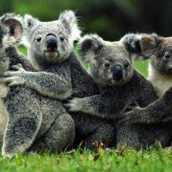 "La palabra koala significa ""el que no bebe agua""."