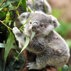 Pueden llegar a ingerir hasta 1 kg por día de hojas de eucalipto.