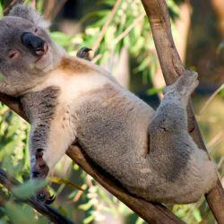 Los koalas, para refrescarse, se suelen estirar entre las ramas de los árboles.
