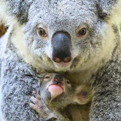 Un koala recién nacido pesa apenas 1 gramo.