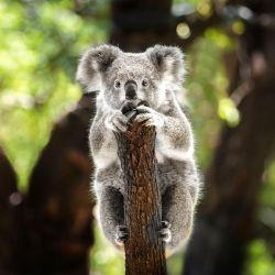 Un koala en estado salvaje puede vivir unos 10 años aproximadamente.