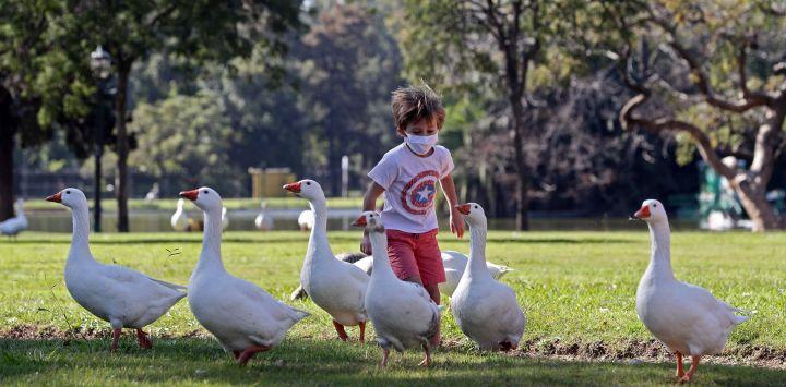 Un niño corre tras los gansos en un parque después de que las autoridades permitieron a los niños salir durante una hora con fines recreativos de acuerdo con el número de identificación de sus padres, algunos los sábados y otros los domingos, en medio del bloqueo impuesto contra la propagación del nuevo coronavirus en Buenos Aires el 16 de mayo de 2020. - Después de ocho semanas en casa, a los niños menores de 15 años en Buenos Aires se les permitió salir durante una hora el sábado, acompañados por un adulto, mientras el gobierno aliviaba el bloqueo impuesto en medio del COVID- 19 pandemia. (Foto por ALEJANDRO PAGNI / AFP)