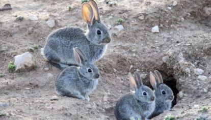 Los conejos invaden Ushuaia