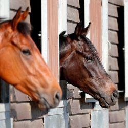 Los caballos se ven en los establos del entrenador de carreras de caballos George Baker cerca de Haslemere, al sur de Londres, el 21 de mayo de 2020. - Los líderes de carreras de caballos están trabajando para volver a correr a puertas cerradas el 1 de junio desde que el deporte se detuvo el 18 de marzo debido a la novela pandemia de coronavirus. (Foto por ADRIAN DENNIS / AFP)   Foto:AFP