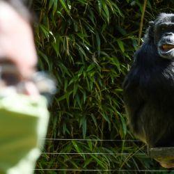 Un chimpancé observa a un visitante con una máscara protectora en el zoológico de la ciudad francesa de La Fleche, el 23 de mayo de 2020, después de que el país alivió las medidas de bloqueo tomadas para frenar la propagación de la pandemia COVID-19, causada por el nuevo coronavirus. . (Foto por JEAN-FRANCOIS MONIER / AFP) | Foto:AFP