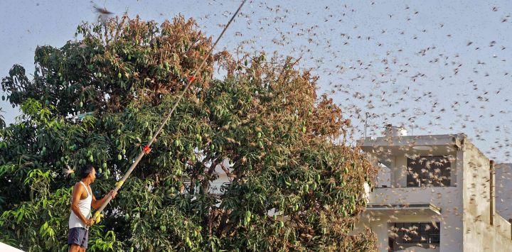 En esta fotografía tomada el 25 de mayo de 2020, un residente intenta defenderse de enjambres de langostas de un árbol de mango en una zona residencial de Jaipur, en el estado indio de Rajasthan. - El 25 de mayo, las autoridades combatieron enjambres de langostas del desierto que han arrasado partes de la India occidental y central en la peor infestación de plagas del país en casi tres décadas, dijo un funcionario. (Foto por Vishal Bhatnagar / AFP)