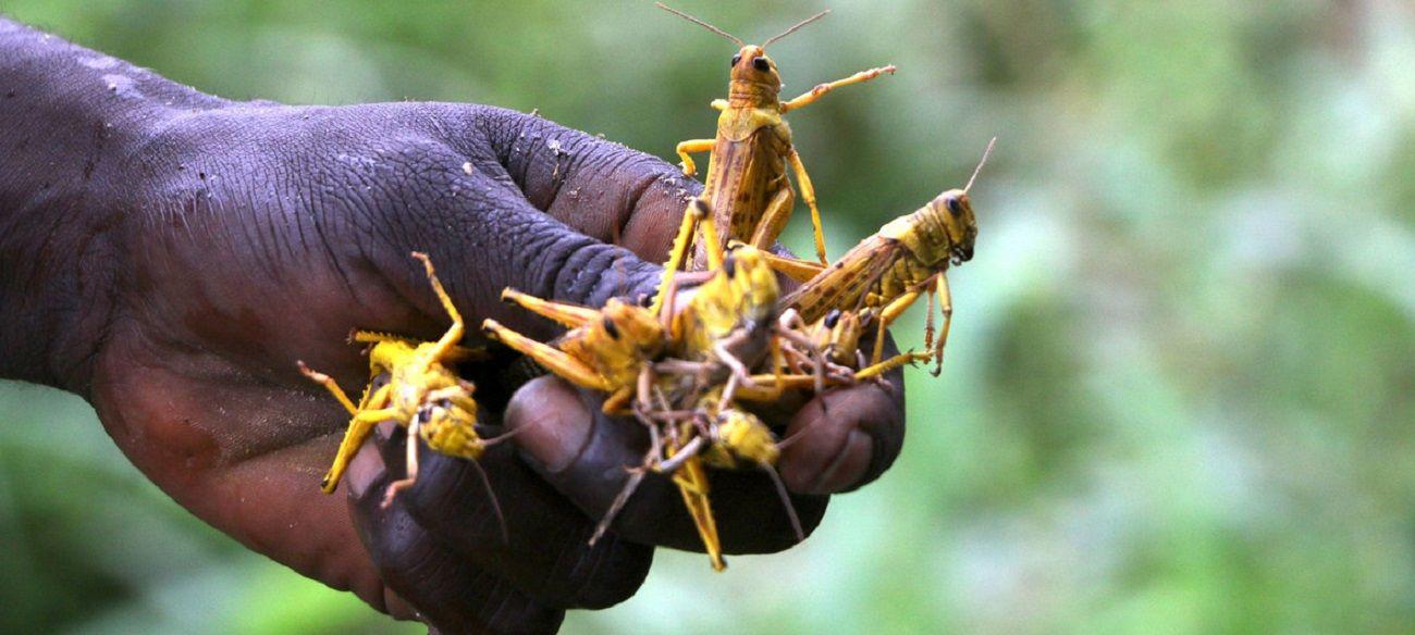 África asediada por el coronavirus y por las langostas