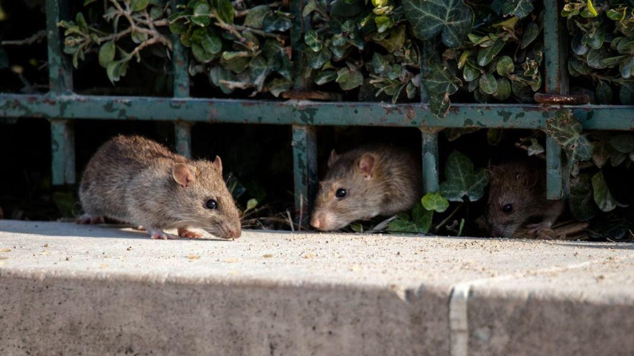 Imagen de carácter ilustrativo. Las ratas en Estados Unidos no consiguen comida y recurren al canibalismo.
