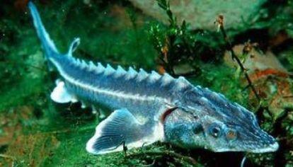 El esturión, uno de los peces elegidos para la pesca sintética.